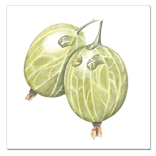prints-gooseberries